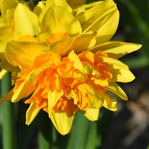 Narcissi Division 6 Cyclamineus Double Joy