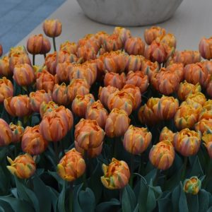 Tulip Double Late Orange Princess AGM