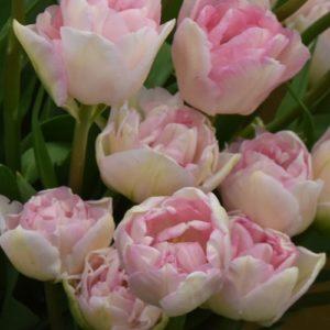 Tulip Double Late Angelique AGM