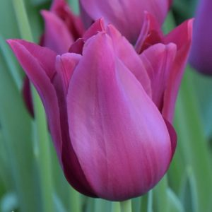 Tulip Lily Flowered Merlot