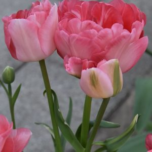 Tulip Double Late Princess Angelique