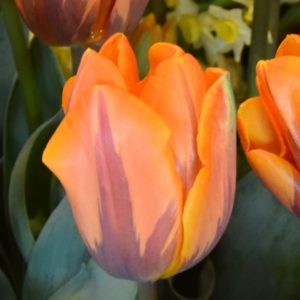 Tulip Single Early Princess Irene AGM