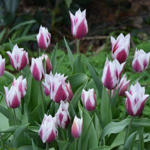 Tulip Historical Lac van Rijn