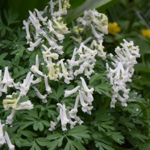Corydalis solida White Knight